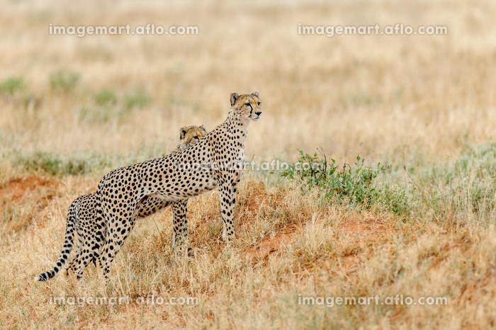 アフリカ 野生生物 生物の販売画像