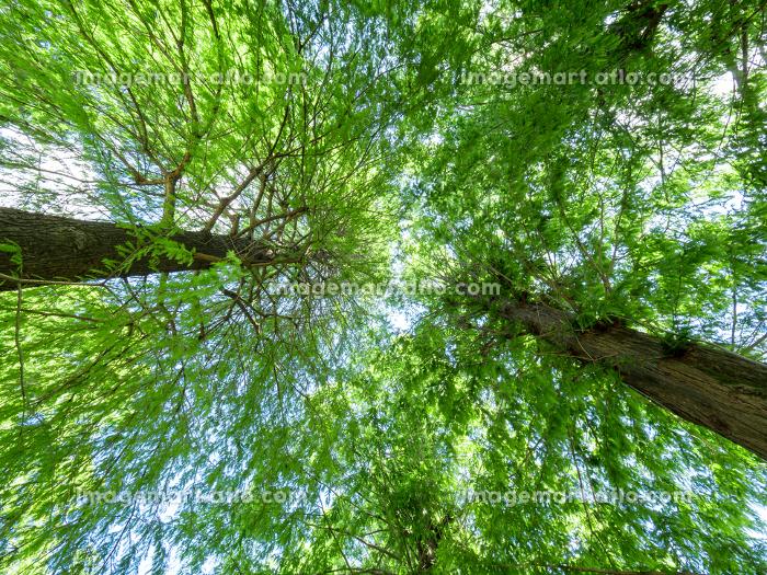 大樹の幹と枝の販売画像
