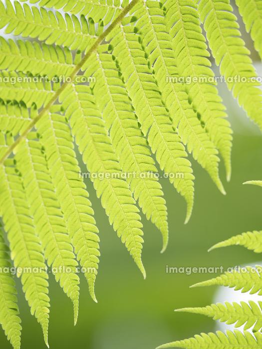 トロピカルイメージ シダの葉の販売画像