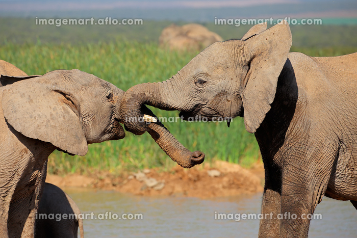 African elephants play fightingの販売画像
