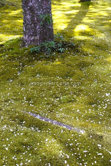 苔と桜の花びらの庭園