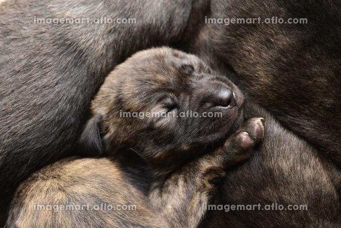 子犬の販売画像