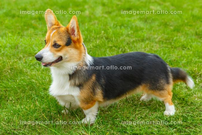 dog Pembroke Welsh corgi smilingの販売画像