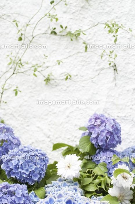 白い壁とアジサイの販売画像