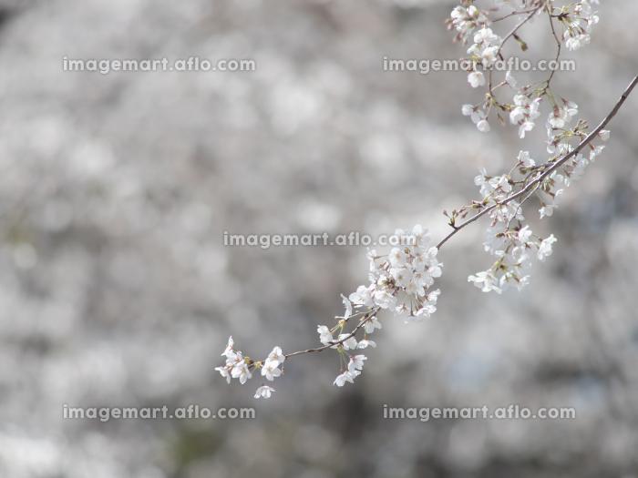 サクラの花のクローズアップ 3月の販売画像
