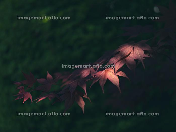 新緑の季節の赤い花の楓 4月の販売画像