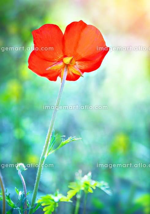 Beautiful poppy flowerの販売画像