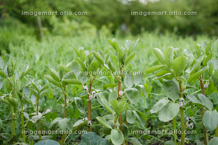 ecological clean beans in the gardenの販売画像