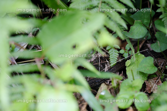 草むらに潜む蛇の胴体の販売画像