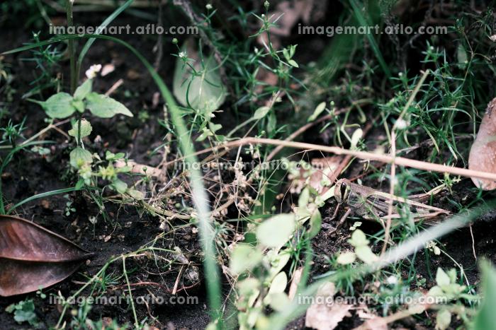 草むらに身を潜めるバッタの販売画像