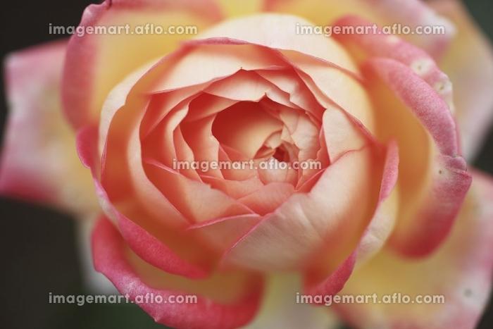 バラの販売画像