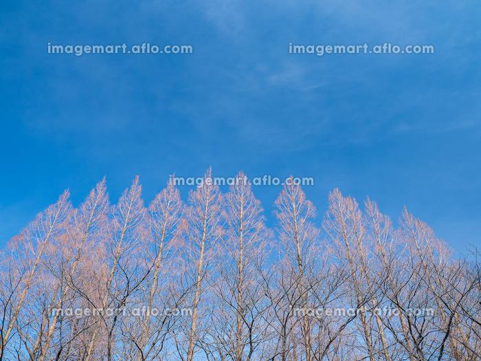 冬晴れの青空と冬枯れの木の風景 2月の販売画像