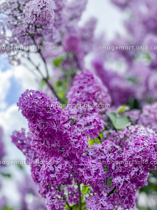 lilac flowers pollinated by a bee, free placeの販売画像