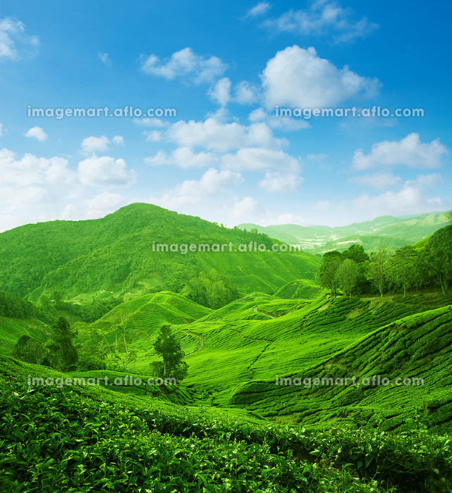 Tea plantation landscape view