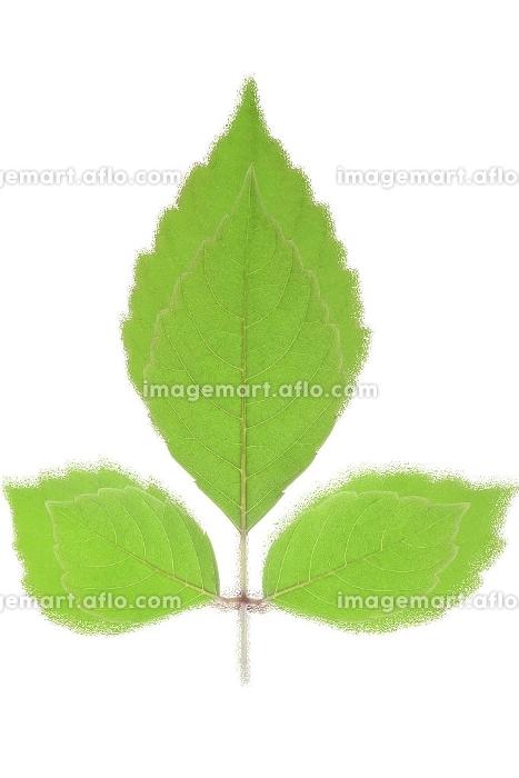 緑の葉のイメージ合成の販売画像