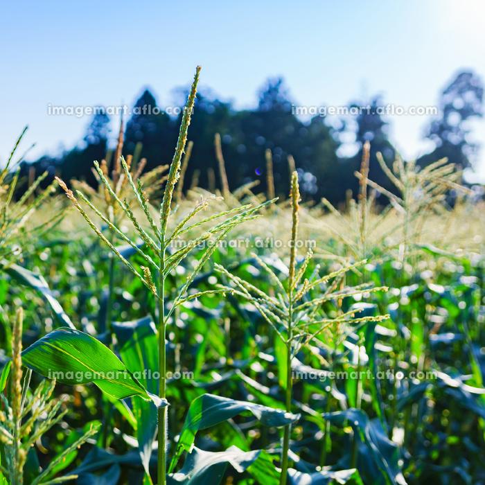 収穫期の国産トウモロコシ【夏イメージ】の販売画像