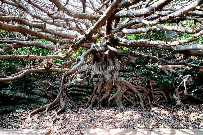 樹木・大木・老木の販売画像