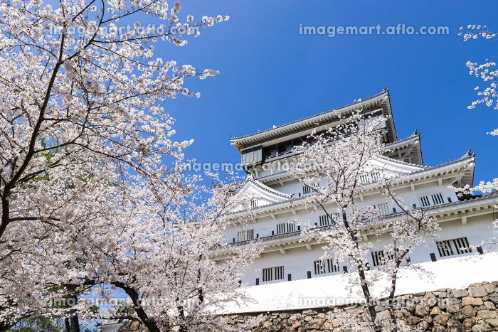 小倉城と桜の風景 福岡県北九州市の販売画像