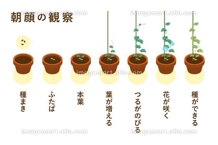 夏休みの宿題の定番 朝顔の成長過程のベクターイラスト(朝顔鉢・一本支柱)の販売画像