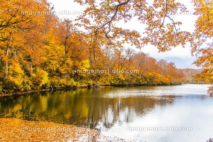 雨飾高原の鎌池の紅葉の販売画像