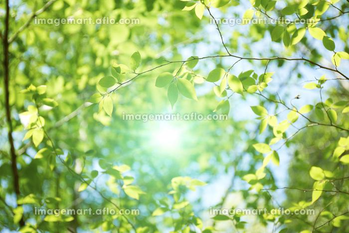 金勝アルプスの新緑の木々の販売画像