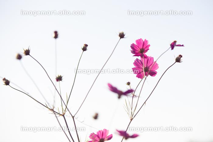 秋晴れに美しく咲く秋桜の販売画像