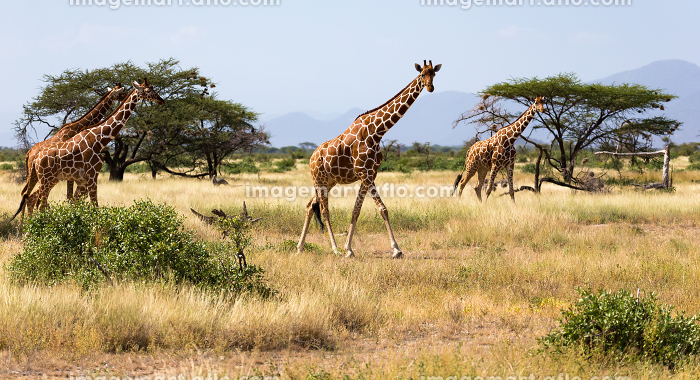 Giraffes in the savannah of Kenya with many trees and bushes in the backgroundの販売画像