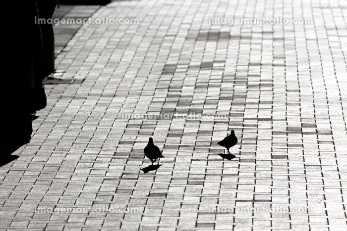 逆光に浮かぶ鳩のシルエット・神奈川県横浜市の販売画像