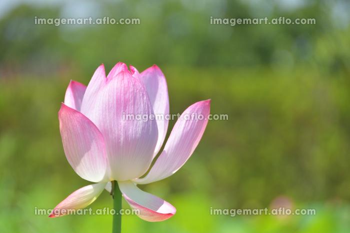 蓮の花の販売画像