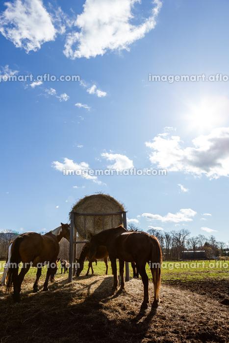 日本の北海道東部・11月の牧場、放牧された馬の販売画像