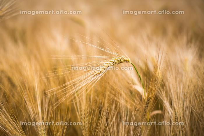 Ripe barley (lat. Hordeum)の販売画像