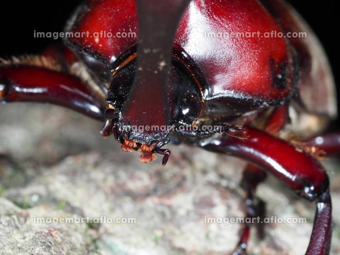 カブトムシのアップ 昆虫 虫 甲虫 夜行性 成虫 生物 夏休み むし オス かぶとむし