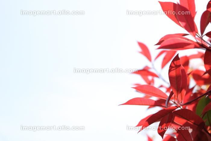 真っ赤なカナメモチの若葉の販売画像