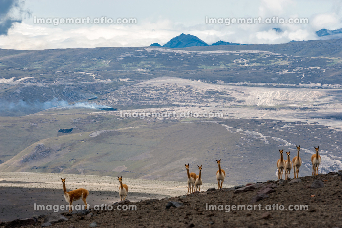 Vicuna in the high alpine areas of the Andesの販売画像