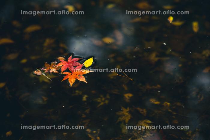 水に浮かぶモミジの葉 12月の販売画像