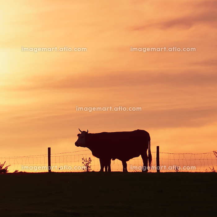 cow and sunset in the meadowの販売画像