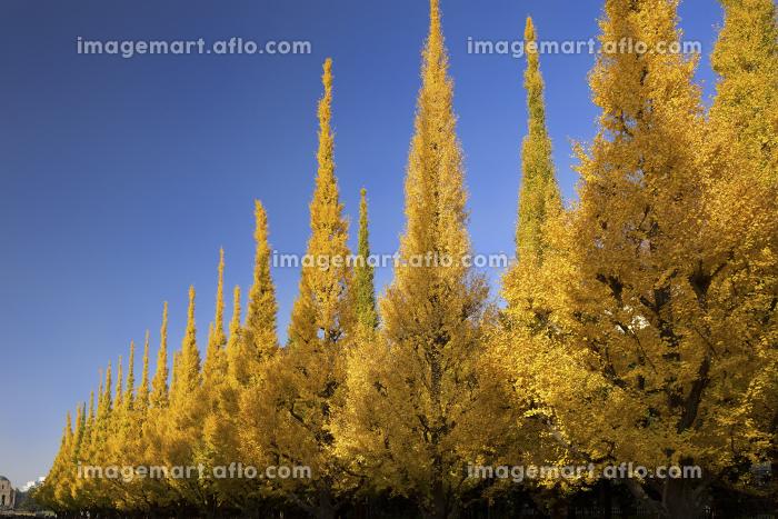 紅葉した神宮外苑のイチョウ並木の販売画像