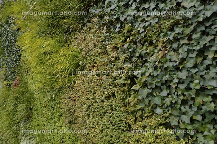 壁一面の植物の販売画像