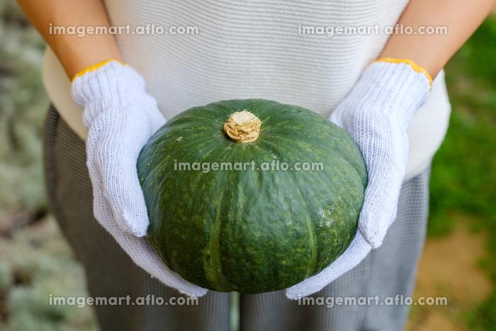 かぼちゃを収穫する女性 農作業の販売画像