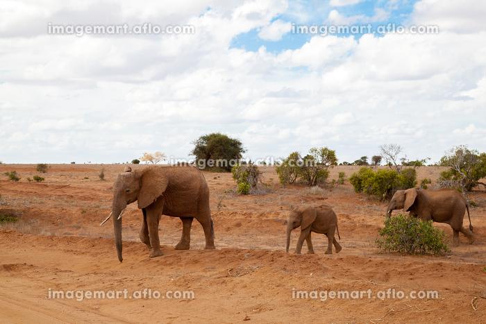 Elephants walking over the savannah, on safari in Kenyaの販売画像