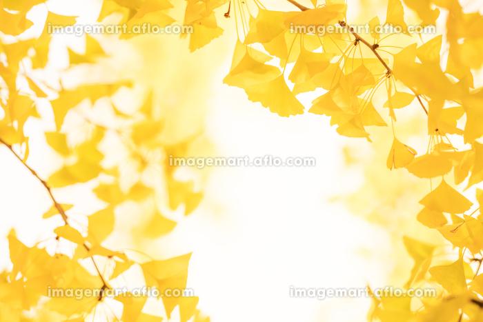 黄色いイチョウの葉のイメージの販売画像