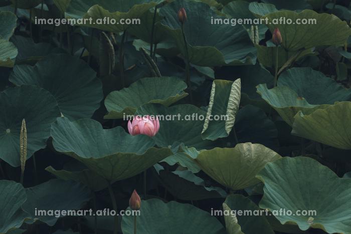 咲き始めた蓮の花 6月の販売画像