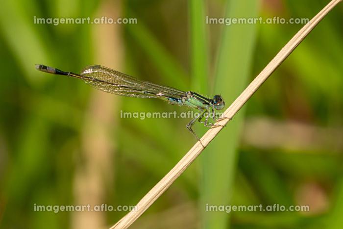 枯草にとまる糸トンボの販売画像