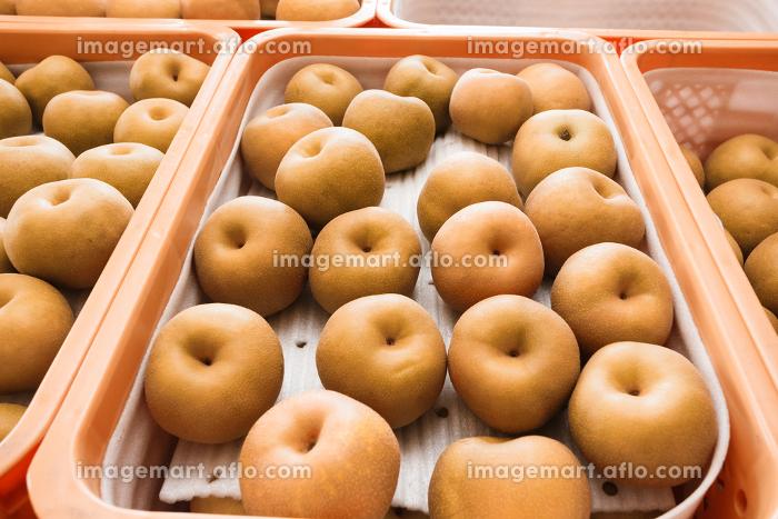 梨の収穫、9月・千葉県、日本の販売画像