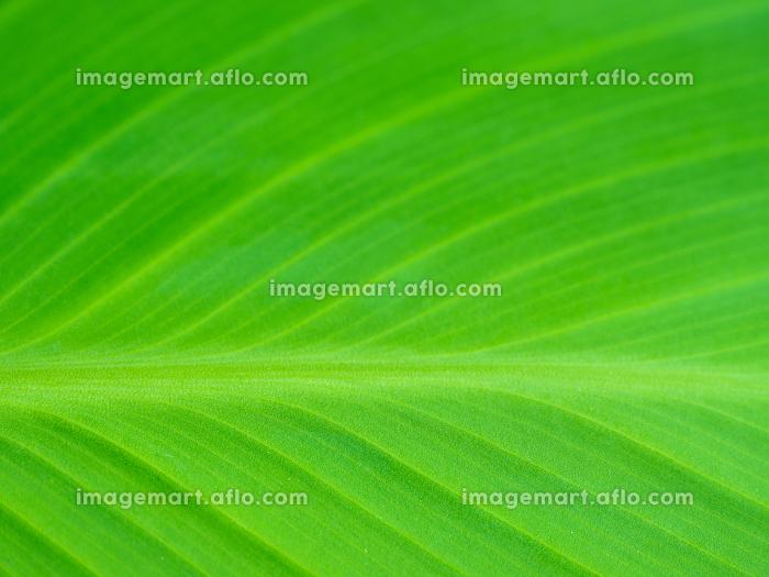 大きな緑の葉の模様 6月の販売画像