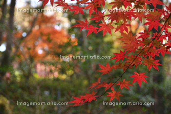 震生湖の紅葉の販売画像