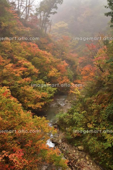 早朝の紅葉の販売画像