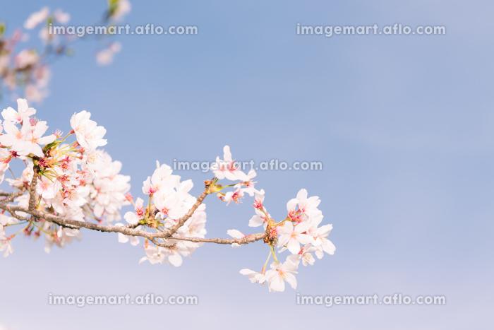 背景用テクスチャーの桜の花の販売画像