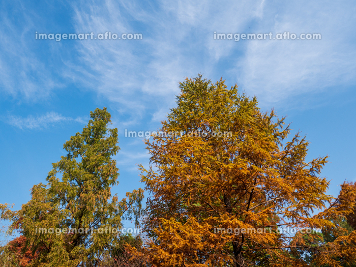 秋の青空と紅葉した針葉樹 11月の販売画像