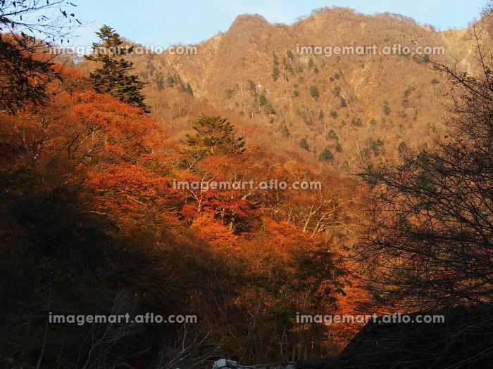 神奈川県丹沢の西丹沢の紅葉の販売画像
